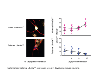170515_Ube3a-neuron-differentiation